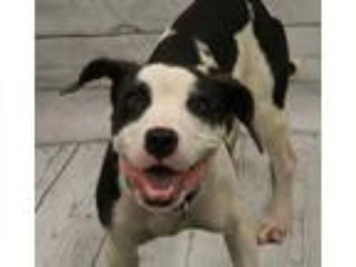 Adopt Skylar a White American Pit Bull Terrier / Mixed dog in SMITHFIELD