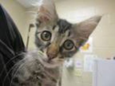 Adopt Tyrion a Domestic Short Hair