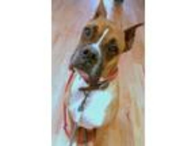 Adopt Bogart a Tan/Yellow/Fawn Boxer / Mixed dog in Staten Island, NY (24986647)