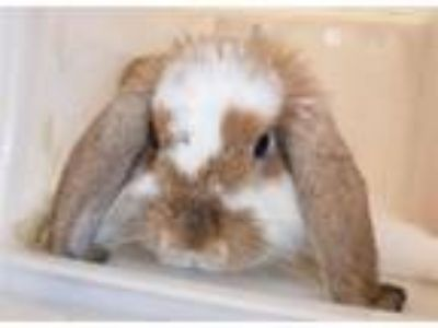 Adopt Felfel a Mini Lop / Mixed rabbit in Houston, TX (25914265)