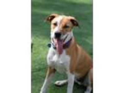 Adopt Ace a Mixed Breed, Harrier