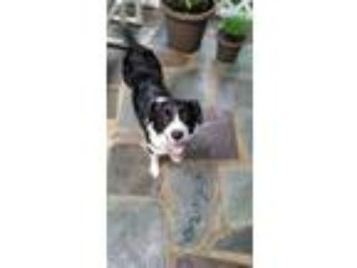 Adopt Siren a White - with Black Spaniel (Unknown Type) / Collie / Mixed dog in