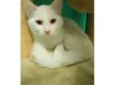 Adopt Dank a Domestic Mediumhair / Mixed cat in Osage Beach, MO (25227347)