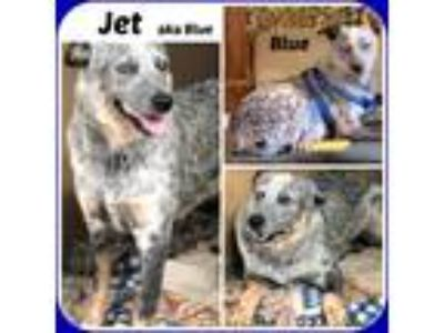 Adopt JET AKA BLUE a White - with Black Australian Cattle Dog / Mixed dog in