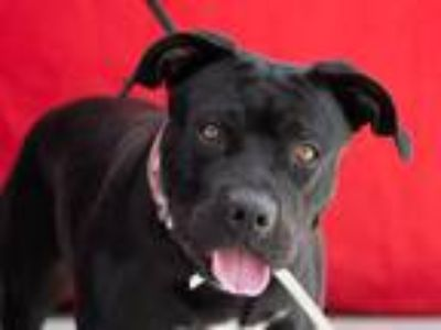 Adopt OLIVE a Black Pit Bull Terrier / Labrador Retriever / Mixed dog in