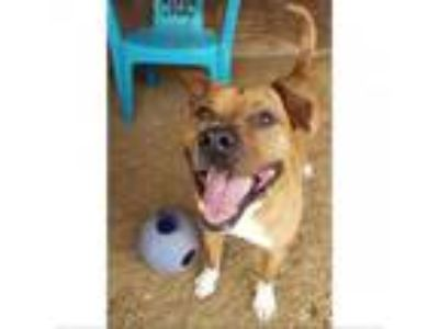 Adopt Whiskey a Pit Bull Terrier, Shar Pei