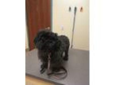 Adopt Quincy a Black Shih Tzu / Mixed dog in Pataskala, OH (22093817)