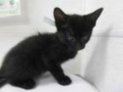 Adopt Henrey a All Black Domestic Shorthair / Domestic Shorthair / Mixed cat in