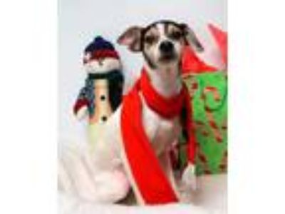 Adopt Hermey (D18-298) a White Rat Terrier / Mixed dog in Lebanon, TN (24047576)