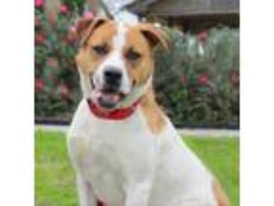 Adopt ALARIC a White - with Tan, Yellow or Fawn Labrador Retriever / Pointer dog