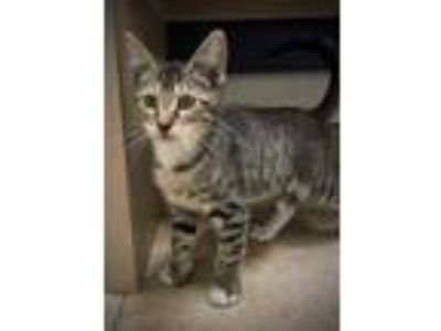 Adopt Klaus a White Domestic Shorthair / Domestic Shorthair / Mixed cat in