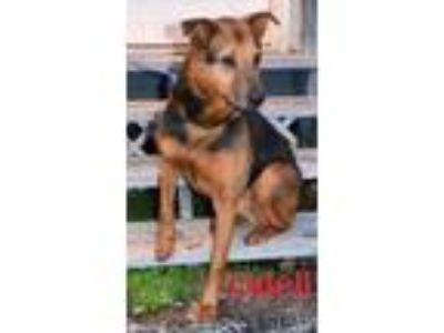 Adopt Odell a Brown/Chocolate - with Black Shepherd (Unknown Type) / Mixed dog