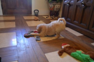Goldendoodle PUPPY FOR SALE ADN-70481 - Beautiful litter of medium F1b puppies