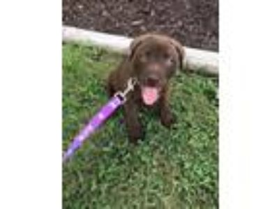 Adopt Slinky a Brown/Chocolate Labrador Retriever / Husky / Mixed dog in
