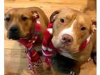Adopt Luke & Leia (Bonded Pair) *SUPER URGT* NEEDS IMMED FOSTER HOME a American