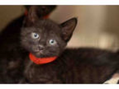 Adopt FURLEY a All Black Domestic Shorthair / Mixed (short coat) cat in West
