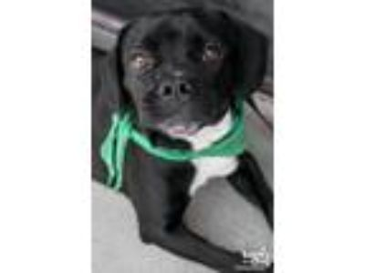 Adopt Mugsy a Black - with White Pug / Beagle / Mixed dog in Washington