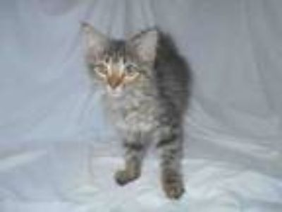 Adopt A980272 a Domestic Medium Hair