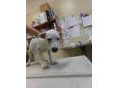 Adopt Raspberry a White Retriever (Unknown Type) / Bull Terrier / Mixed dog in