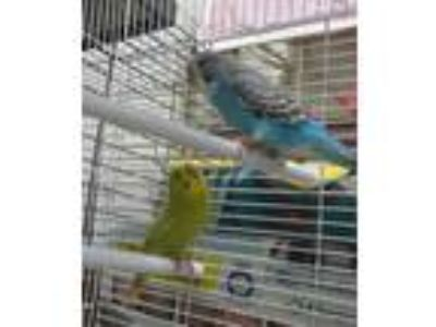 Adopt Rio (cocoa adoption center) a Blue Parakeet - Other / Parakeet - Other /