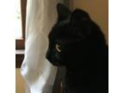 Adopt Baby a All Black Domestic Shorthair cat in Middlefield, CT (25260726)