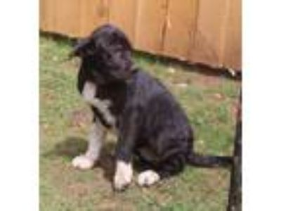 Adopt Bristol of Junkyard litter a Black - with White Border Collie / Great