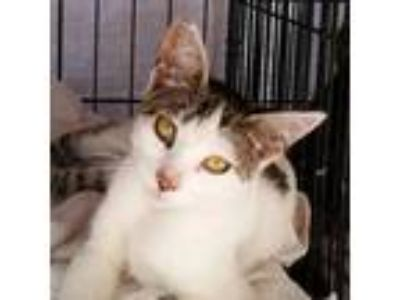 Adopt Siouxsie a White (Mostly) Domestic Shorthair / Mixed (short coat) cat in