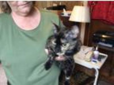 Adopt Shirley a Tortoiseshell Domestic Shorthair / Mixed (short coat) cat in