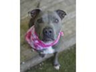 Adopt Frida a Gray/Silver/Salt & Pepper - with White American Pit Bull Terrier /