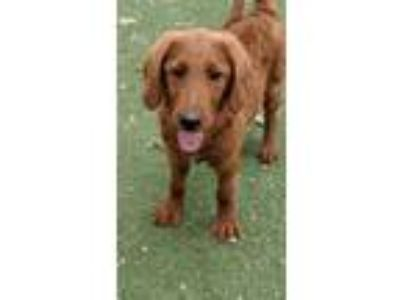 Adopt Ruben a Golden Retriever