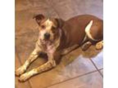 Adopt Penny a Cattle Dog, Bull Terrier