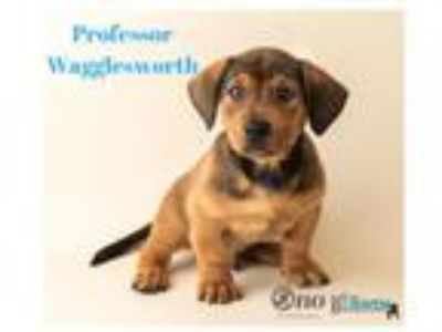 Adopt Professor Wagglesworth a Black Hound (Unknown Type) / Corgi / Mixed dog in