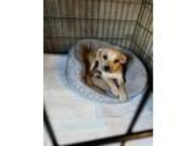 Adopt 41744855 a Tan/Yellow/Fawn Terrier (Unknown Type, Small) / Mixed dog in