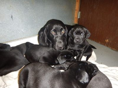 AKC REG Excellence line of OFA with top line pedigree of  Hunting/Field, labs puppies