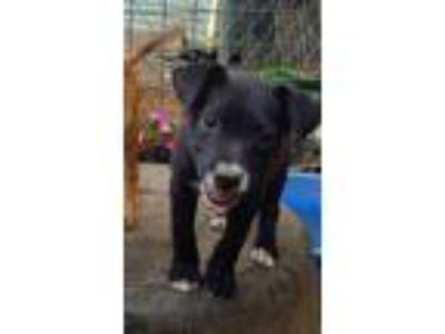 Adopt Puppies (assorted breeds/ages) a Black - with Brown, Red, Golden