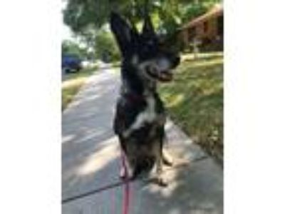 Adopt DAISY a Border Collie, Shepherd