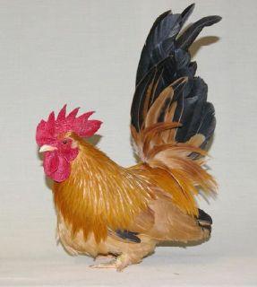 Seramas Roosters  / Hens/ Chicks