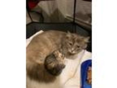 Adopt Baby a Calico or Dilute Calico Maine Coon / Mixed (medium coat) cat in