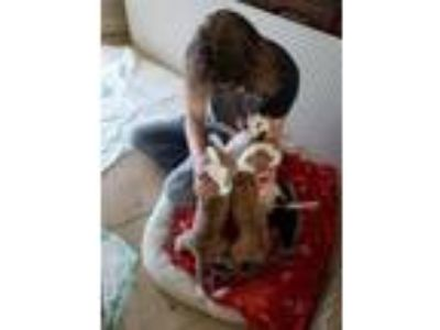 Adopt WENDY'S 3 PUPPIES! 1F/2M BOXER/HOUND/LAB MIX *SEE DNA a Boxer, Hound