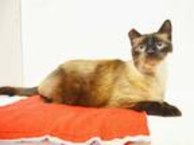 Adopt *KOKO a Brown or Chocolate (Mostly) Siamese / Mixed (short coat) cat in
