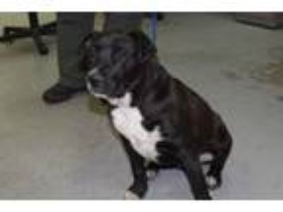 Adopt Arthur a Black Labrador Retriever / American Pit Bull Terrier dog in Olive