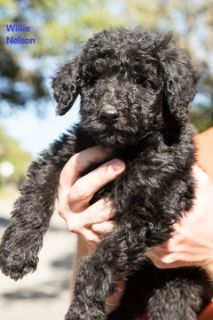 Labradoodle PUPPY FOR SALE ADN-74531 - Labradoodle Puppies F1b CKC registered