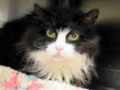 Adopt MISS KITTY a Black & White or Tuxedo Domestic Longhair / Mixed (long coat)
