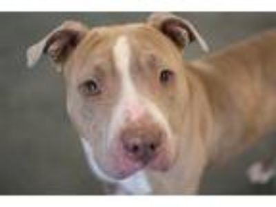 Adopt Eimah a American Pit Bull Terrier / Mixed dog in Pittsburgh, PA (25518737)