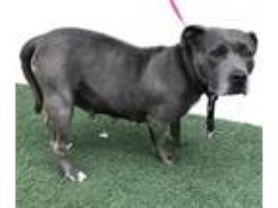 Adopt SATIVA a Gray/Silver/Salt & Pepper - with White American Pit Bull Terrier