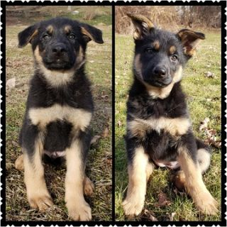 German Shepherd Dog PUPPY FOR SALE ADN-110568 - Male and Female purebred German Shepherd puppies
