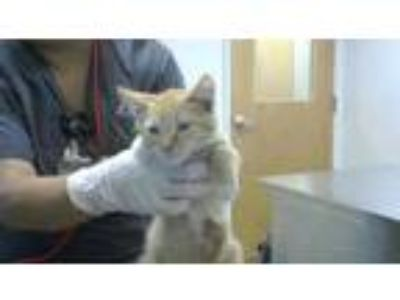 Adopt Ron a Orange or Red Domestic Mediumhair / Domestic Shorthair / Mixed cat