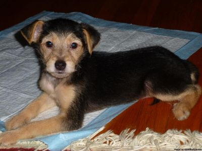 Sweetest Yorkie Boy Puppy!