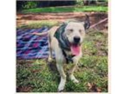 Adopt Tiger Lily a Tan/Yellow/Fawn Dachshund / Labrador Retriever / Mixed dog in