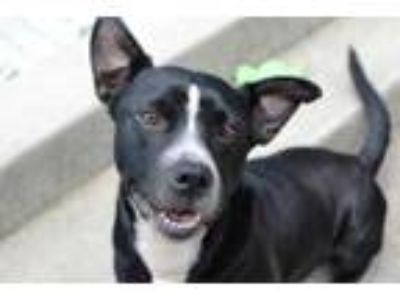 Adopt Pansy a Black Labrador Retriever / American Pit Bull Terrier / Mixed dog